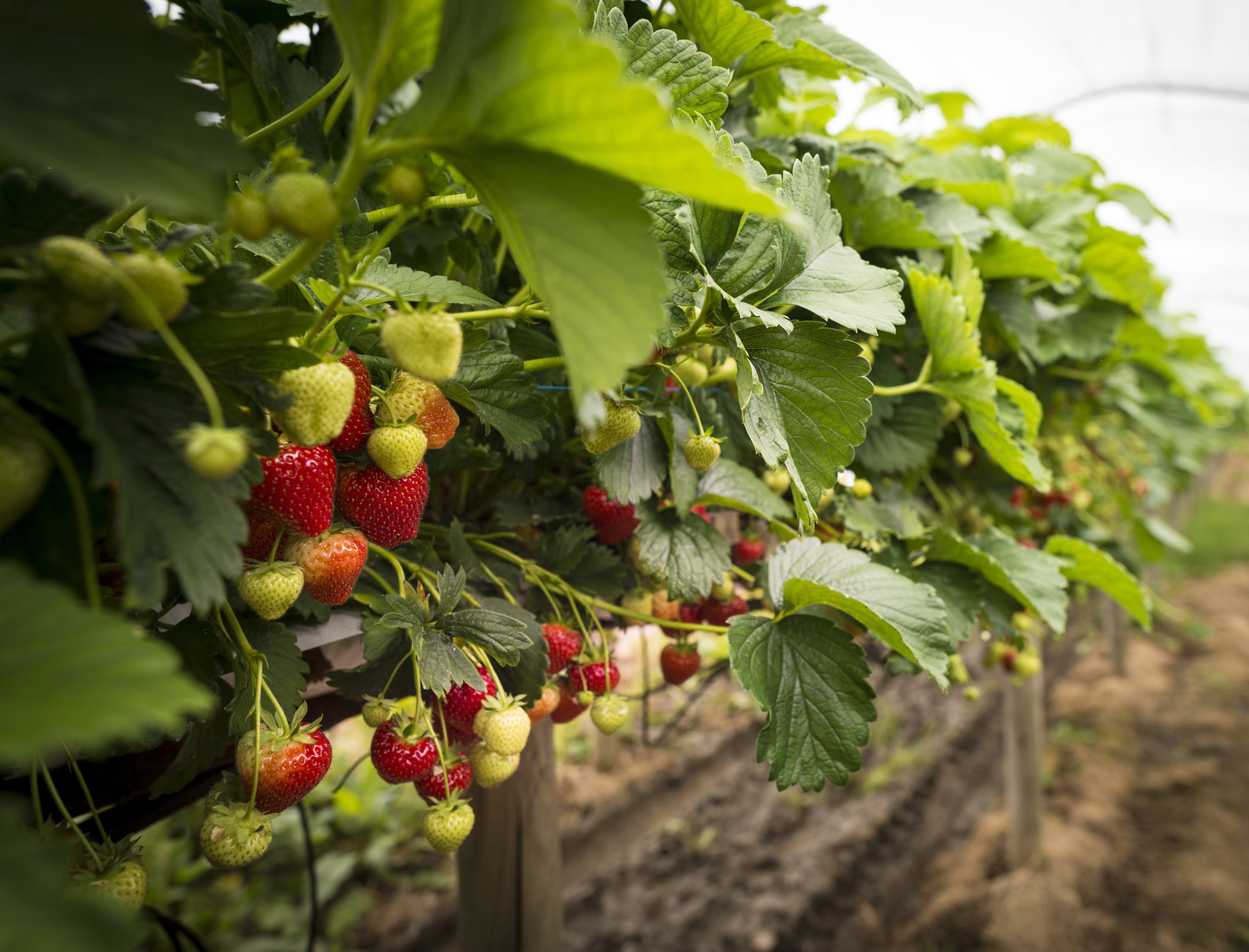Strawberry Planting has begun at the farm �