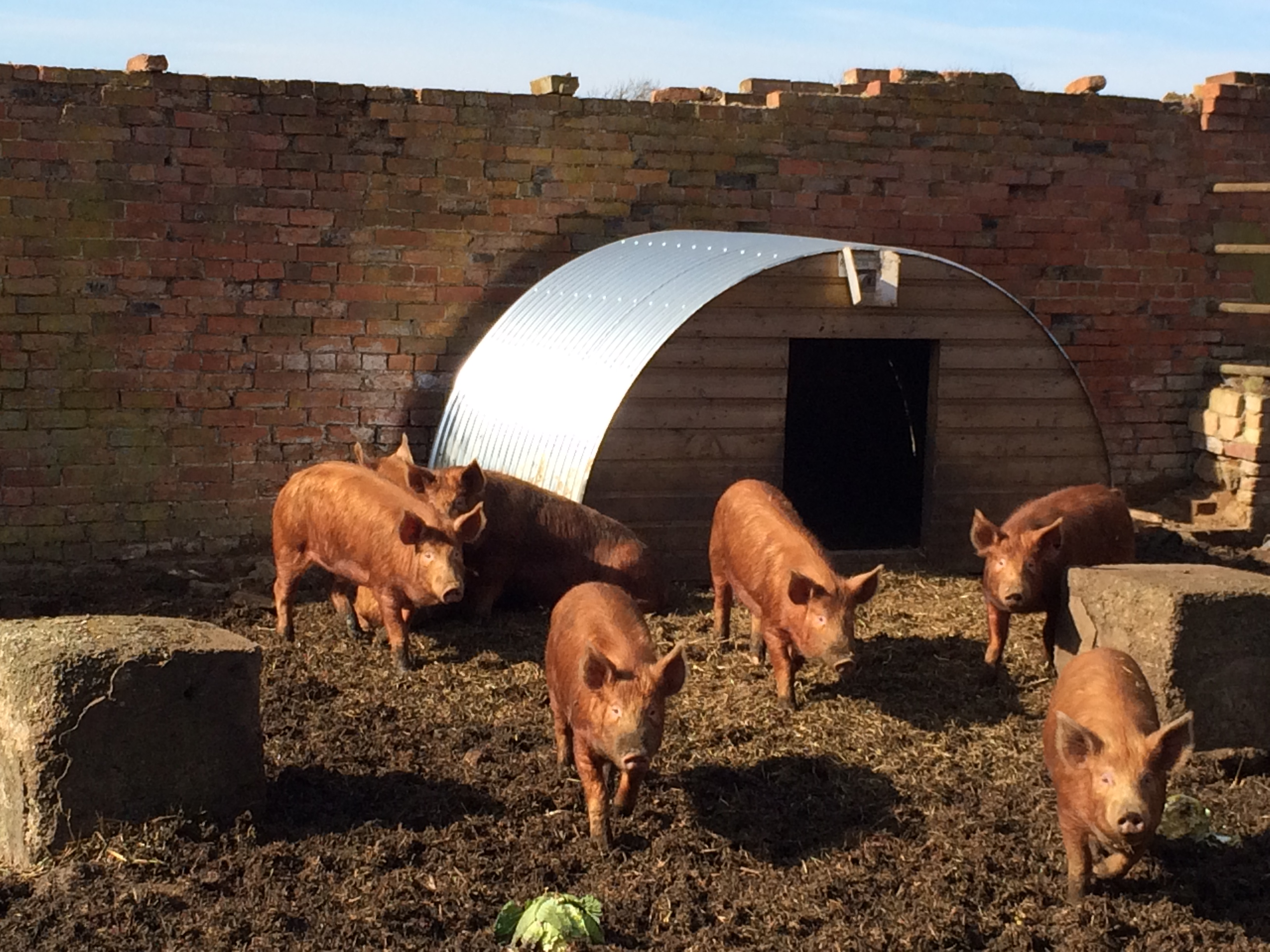 Tamworth pigs on the farm