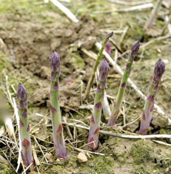 asparagus growing in the field